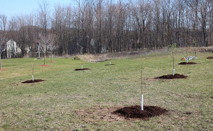 How I went about planting fruit trees to create a small orchard in our yard in the north. Fruit trees are a great way to further increase self-sufficiency.