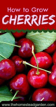 How to Grow Cherries