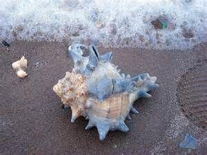 La mayoría de los caracoles de mar, que viven en agua salada,  respiran utilizando branquias o agallas, sin embargo, algunas especies tienen un pulmón, y están activos sólo durante la marea baja, cuando pueden respirar aire.    CLASES PARTICULARES, FORMACIÓN, RECUPERACIÓN ACADÉMICA A DOMICILIO  Desde $350.00 dependiendo materia o nivel  #Matemáticas, #ClasesdeGeografía, #Geografía #Música,#AprobarMatemáticas,#ProfesoresParticularesMatemáticas, #TécnicasEstudioMatemáticas #ClasesParticulares…