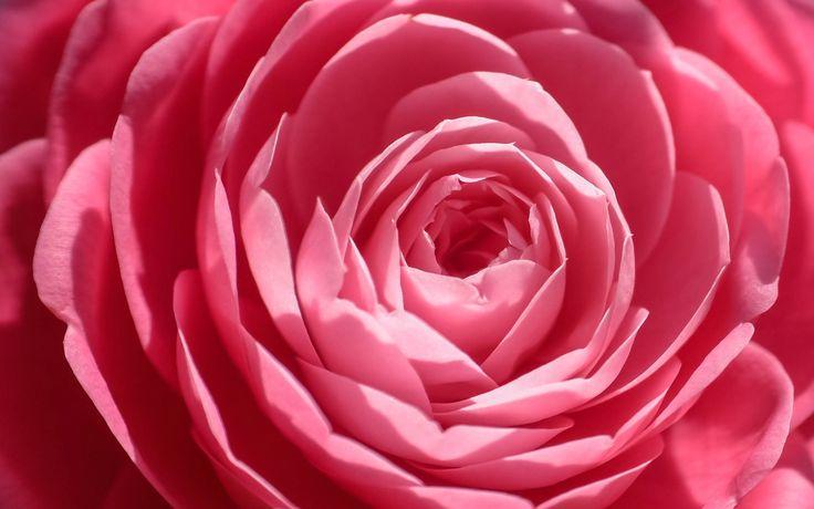 1920x1200 pink rose wallpaper hd