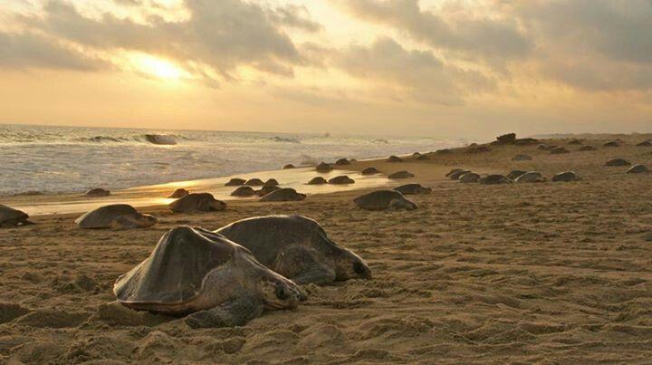 Pochotla Oaxaca Siete de las 8 especies de tortugas marinas existentes en el mundo desovan en México