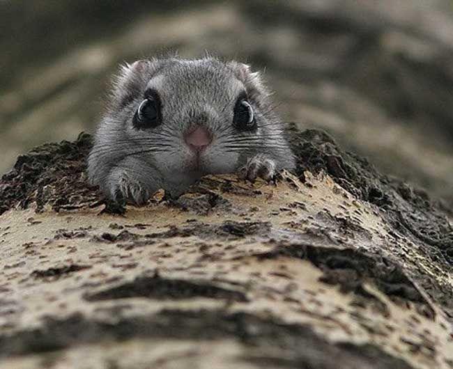 Cute flying squirrels - photo#8