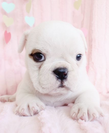 Cutie English Bulldog Puppy :) #english #bulldog #puppies #love teacupspuppies.com/puppy61.html