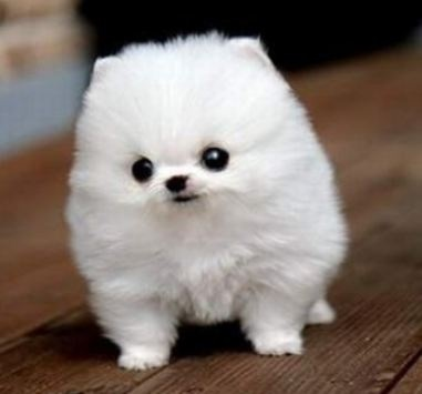 Fuzzy White Pomeranian. Looks like a cotton ball wit ears.(: