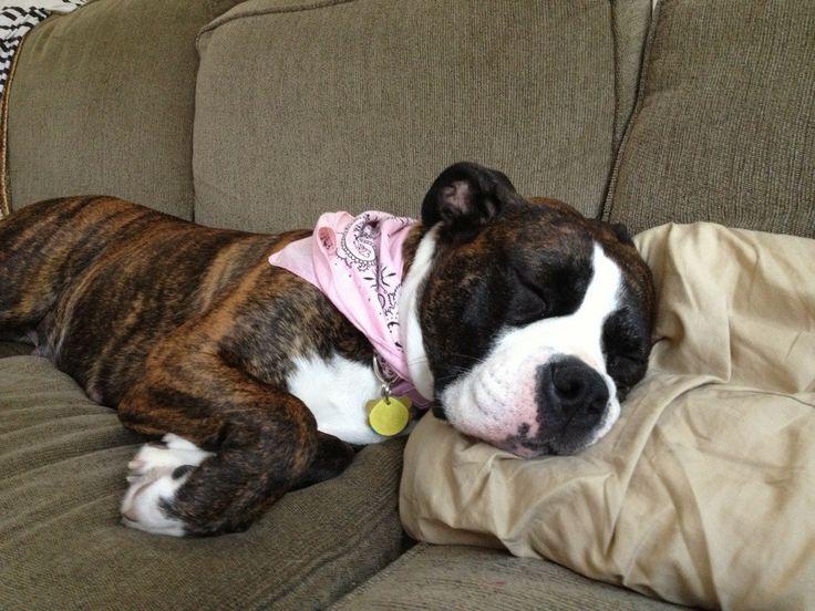 American Bulldog/Boxer mix | Yuki stuff! #lovemyboxer ...