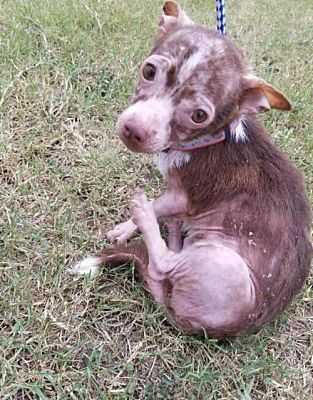 Pictures Of Peanut A Chihuahua For Adoption In New York Ny Who