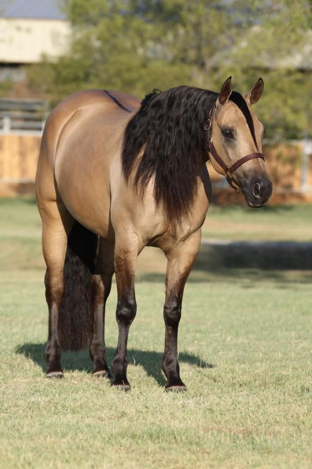 Quarter Horse mare Belle Starr Dun It she is ready for breeding comment who we should breed her with