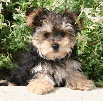 An adorable morkie (maltese-yorkie). I want one. :-)