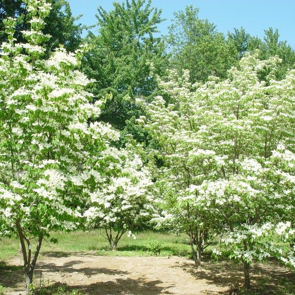 Cornus kousa – Chinese Dogwood