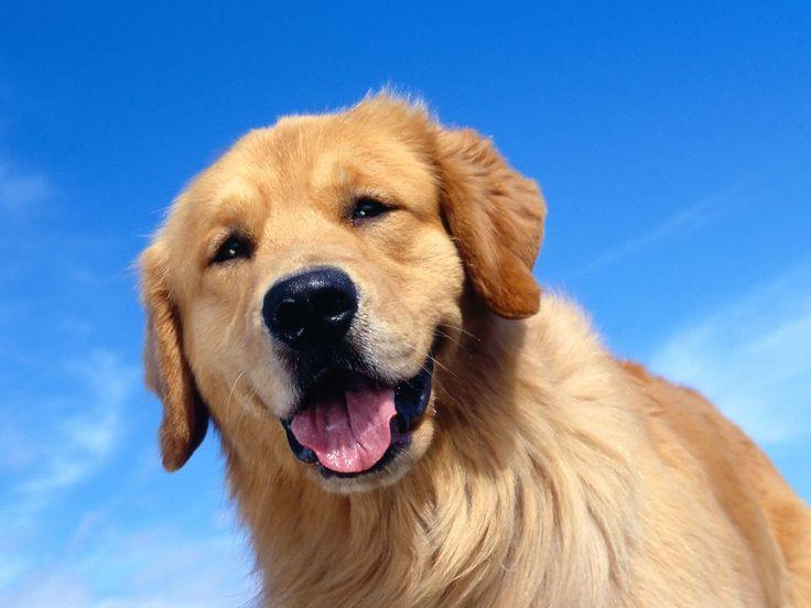 golden retriever - Google Search