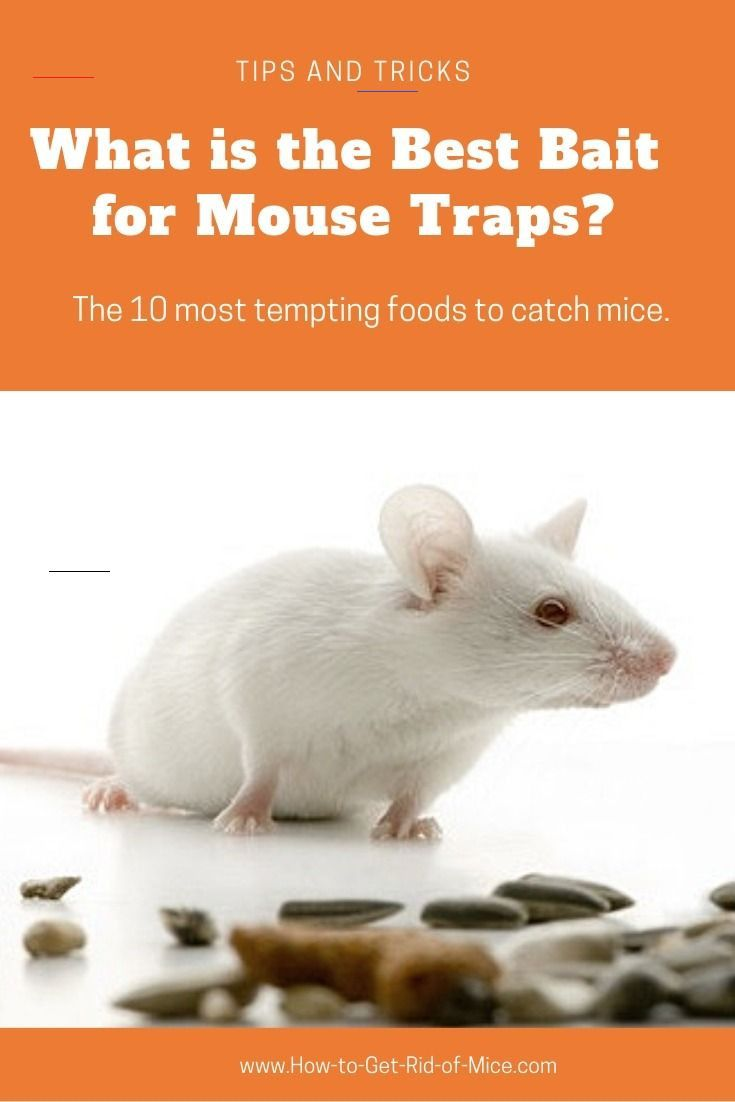 10 Of The Best Mouse Trap Baits Find Out What Really Works Mousetrap Not Sure Which Mouse Trap Bait To Use Here A Best Mouse Trap Best Mouse Mouse Traps