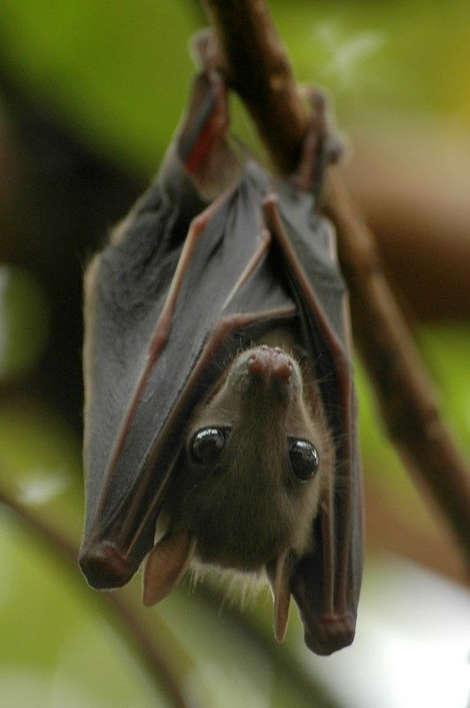 Fruit bat. My aunt had one as a pet when i visited her in guam