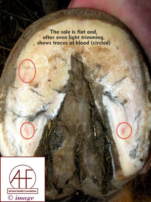 an examination of the laminitis disease in horses Laminitis is an extremely painful and potentially crippling disease affecting horses that can even be fatal if the disease has progressed to the point that it would be inhumane to continue treatment, the horse will have to be euthanized.