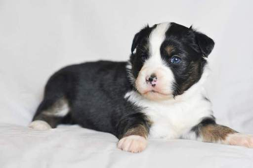 Litter of 7 Miniature Australian Shepherd puppies for sale in KANSAS CITY, KS. ADN-26683 on PuppyFinder.com Gender: Female. Age: 4 Weeks Old