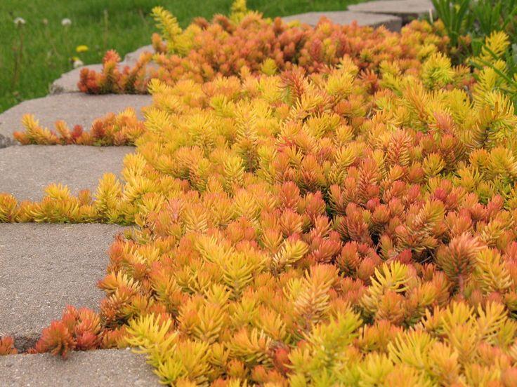 best  sedum ground cover ideas on   succulent ground, Natural flower