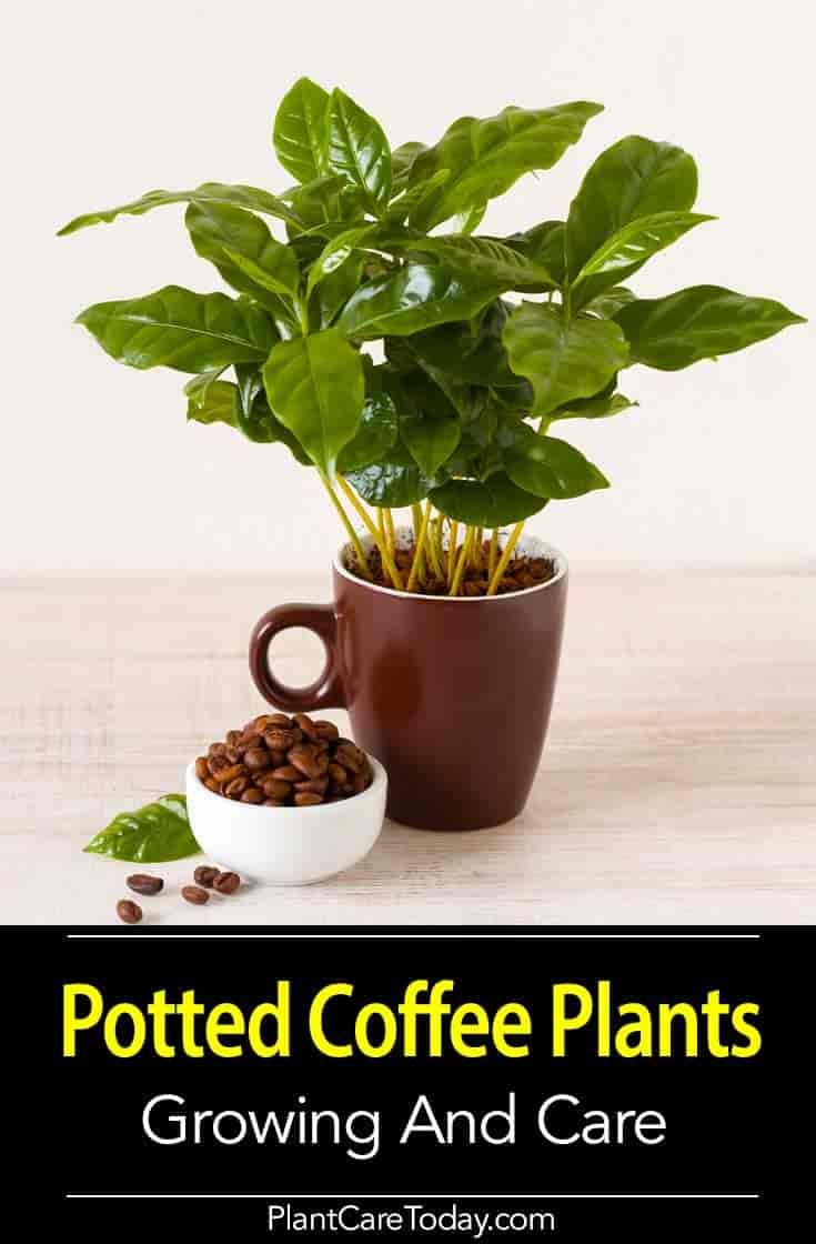 Coffee Plant Care: Growing A Coffee Tree Indoors and Out | Trees ...