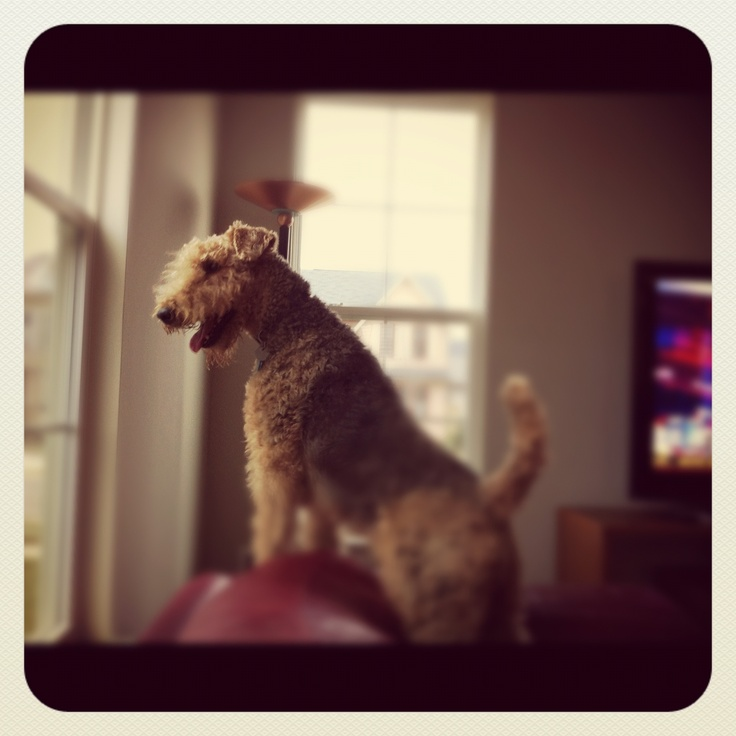 The king of terriers.