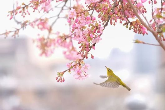 Japan Cherry Blossoms Bird Image |National Geographic Your Shot Photo of the Day