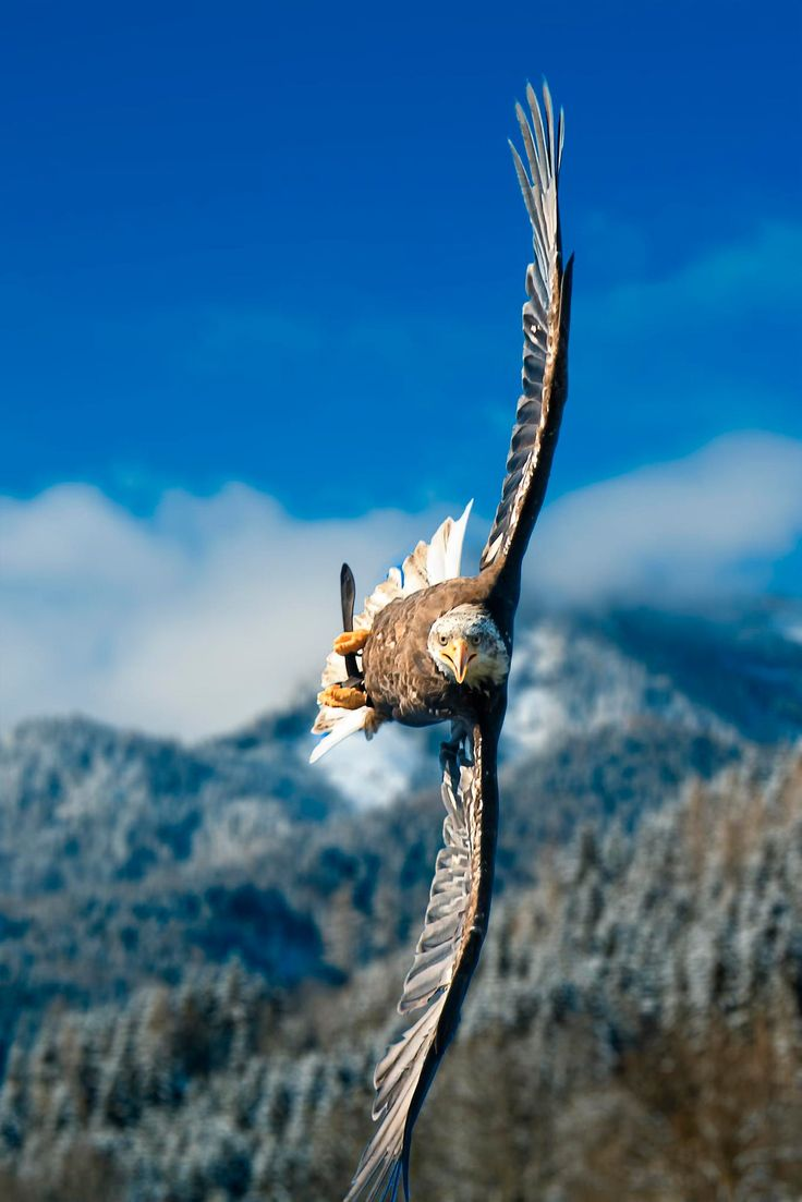 Austrian Bald Eagle attempting to land and fighting crosswinds.