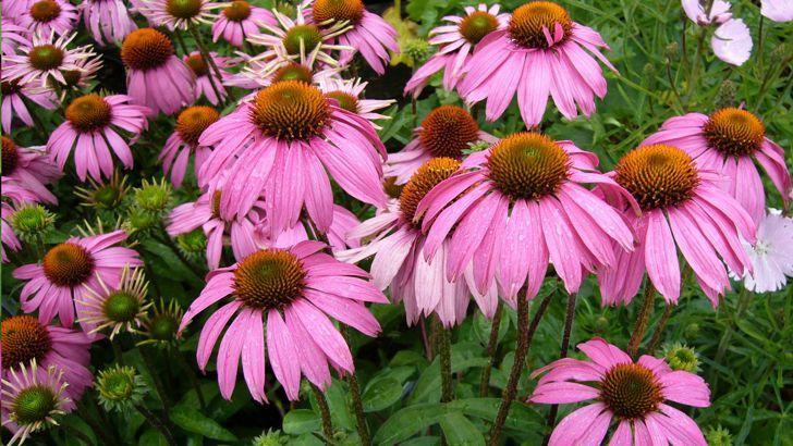 Echinacea zkrášlí zahradu a obohatí domácí lékárničku