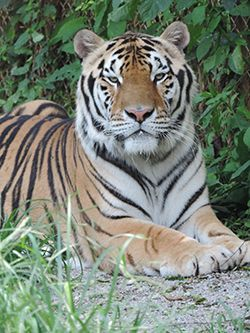 Tiger Haven - Monthly Donation Form