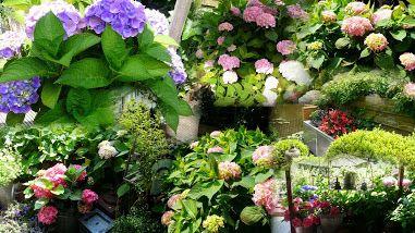 Dit is een collage van Hortensia's in mijn tuin.