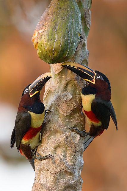 Tucans...Foto araçari-castanho (Pteroglossus castanotis) por Octavio Campos Salles