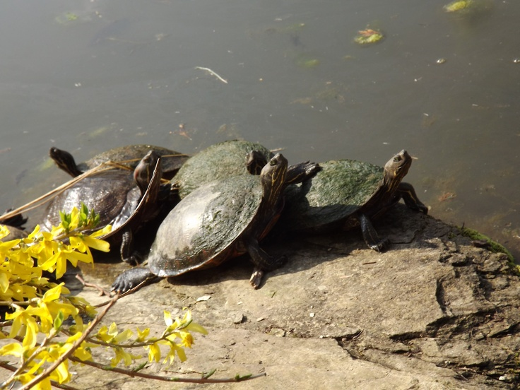 Love turtles on pinterest turtles terrapin and baby turtles