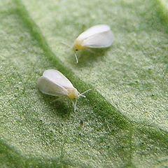 Mosca blanca -otra- (Trialeurodes vaporariorum). Es efectivo el Imidacloprio 35 %