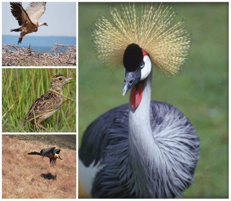 With feathered friends like the blue crane and Rudd's lark, #birdwatching in the #Drakensberg is a great place to start. #OaklandsCountryManor