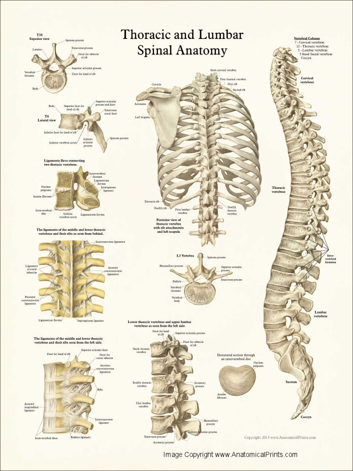 The thoracic spine extends from below the neck to the base of the rib cage, and is located between the cervical and lumbar spine.
