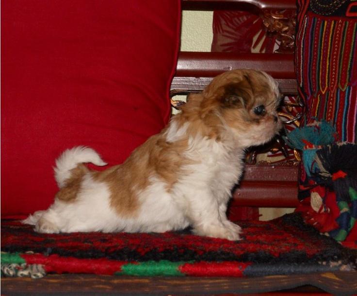 Selene, a Mi-Ki puppy, doing yoga.