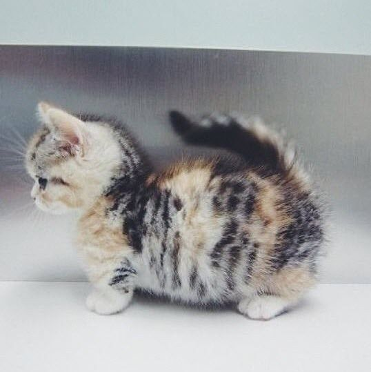 munchkin ~ There's a breed of cats called Munchkins. They have really short legs. S-o-o-o-o adorable!