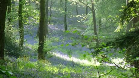 May-time bluebells at Low Wood in Wasdale, Cumbria