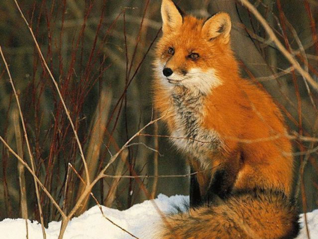 Your Spirit Animal is a Red Fox! <3 You are curious and have a nice pep in your step. You love to explore new places and occasionally try new things. The powers your spirit animal bestows on you is stamina, speed, and extra power for jumping. <3 I got: Red Fox! What Would Your Spirit Animal Be?