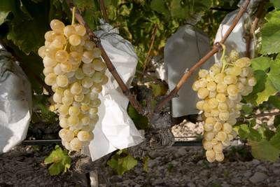 UVA VINALOPÓ - A diferencia de otras uvas de mesa, la uva del Vinalopó crece protegida bajo un bolso de papel que cuida y guarda con mimo todos los granos del racimo hasta llegar a manos del consumidor.