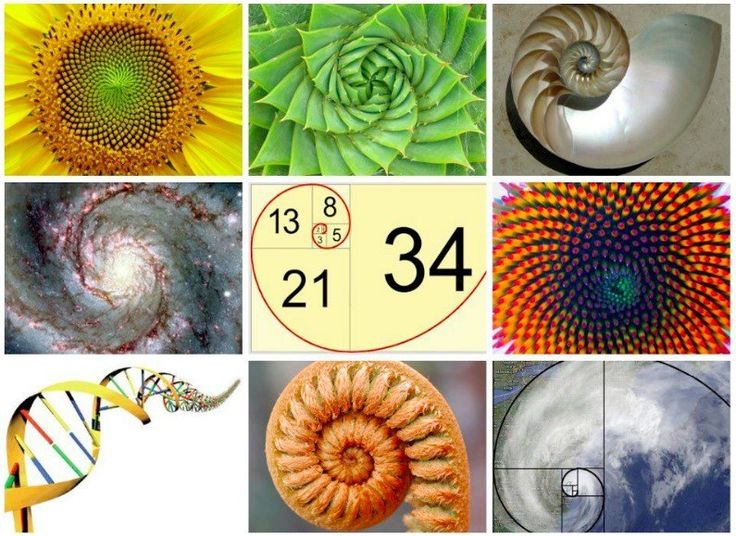 fibonacci series of numbers in nature So, she was surprised to find out that she was instinctively using in her compositions, the golden ratio and the fibonacci series, which are the basis of visually.