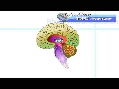 体の神経系 脳の解剖 Nervous system and Brain:理学療法士による身体活動研究 - https://www.youtube.com/watch?v=dC-tVt84_u8