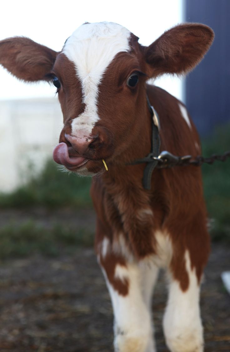 Baby Red | Young Holstein calf | By: Karen Blakely | Flickr - Photo Sharing!