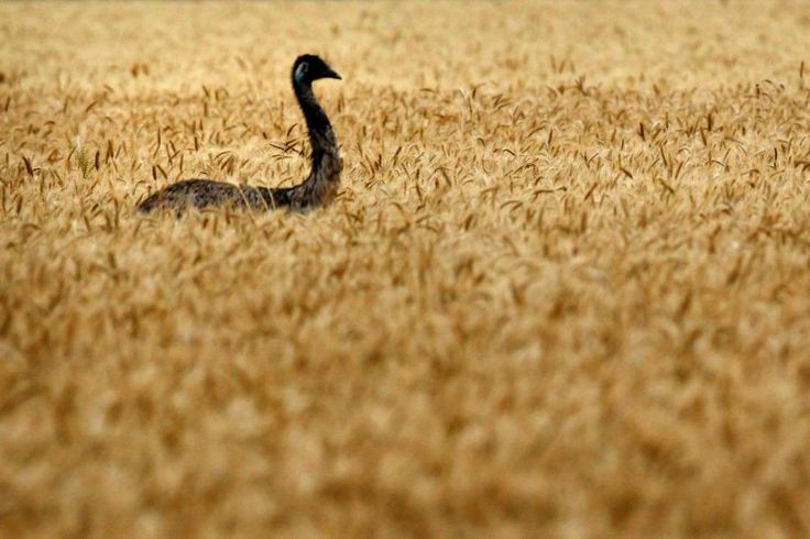 An emu makes its way through a wheat field.