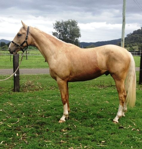 * Palomino Byalee Briar filly 3yo $12,000 * Palomino Byalee Briar colt 1 yo $11,000 * Palomino Myora Kyau x Donnerheist 3yo  $8,000 * Wolkenstein II mare in foal to cremello stallion - 100% chance of colour $5,000 * Jazz/Rotspon/Rocadero mare in foal to Palomino warmblood stallion (pictured) $ 8,000 * Thoroughbred and cremello quarter horse mare in foal to palomino warmblood stallion $3,000