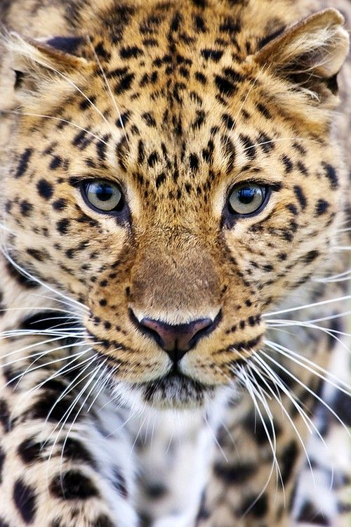 Amur Leopard by Big Cat Photography--the rarest big cat in the world--on the barest edge of extinction in the wild due to habitat loss and poaching for their magnificent fur❤YmM❤