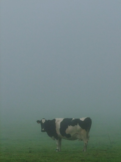 The gorillas have been helped and now there are Cows In The Mist.