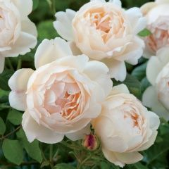 Love this colour of Rose - a vintage off white, not quite peach. Lovely. Wollerton Old Hall - David Austin Roses