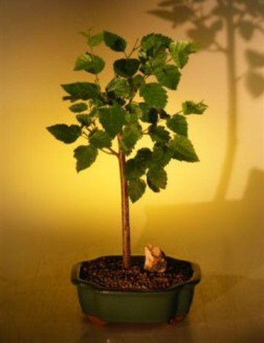 Weeping Birch Bonsai Tree(betula pendula)
