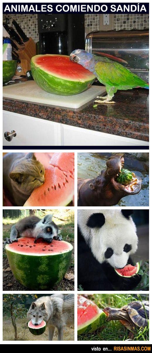 Animales comiendo sandía.