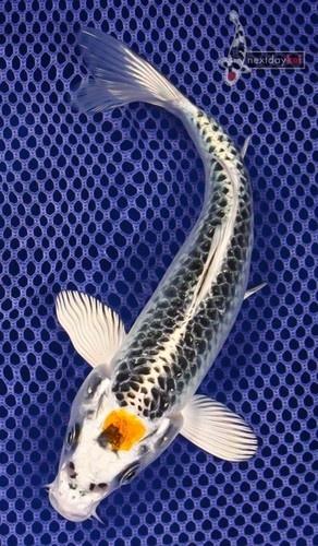 "7"" Tancho Kujaku Standard Fin Live Koi Fish Pond Garden NDK | eBay - BLING, it has diamonds on it!"