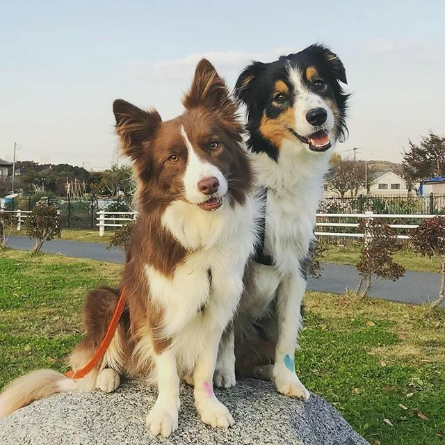 2 Border Collies Collie Breeds Collie Dog Farm Dogs
