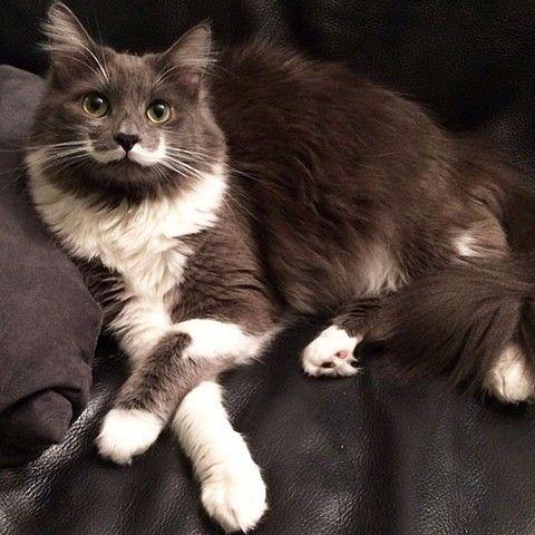 Hamilton il gatto hipster