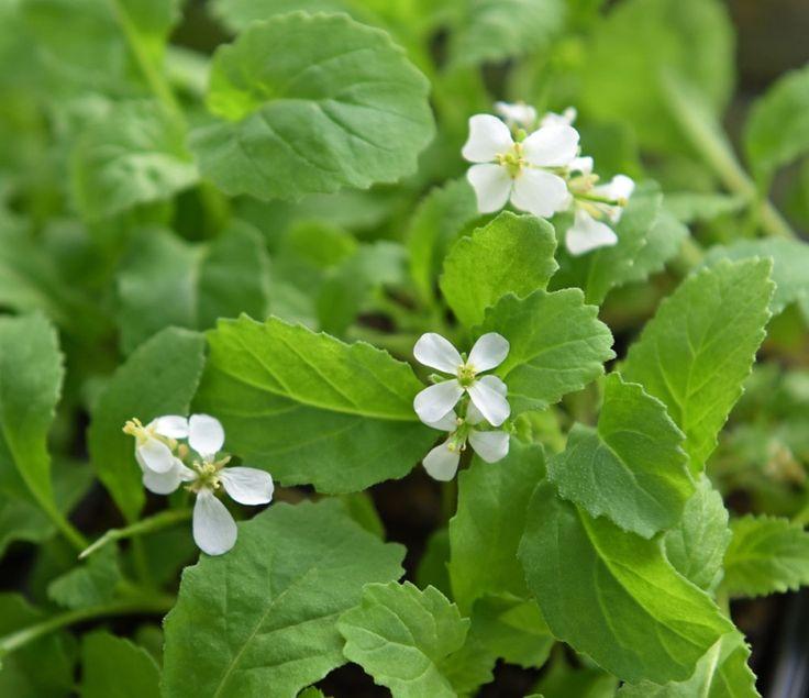 WASABIRUCOLA 'Wasabi' i gruppen Krydd- och Medicinalväxter / Kryddväxt hos Impecta Fröhandel (95482)